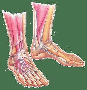foot-anatomy-phoenix-arizona-7